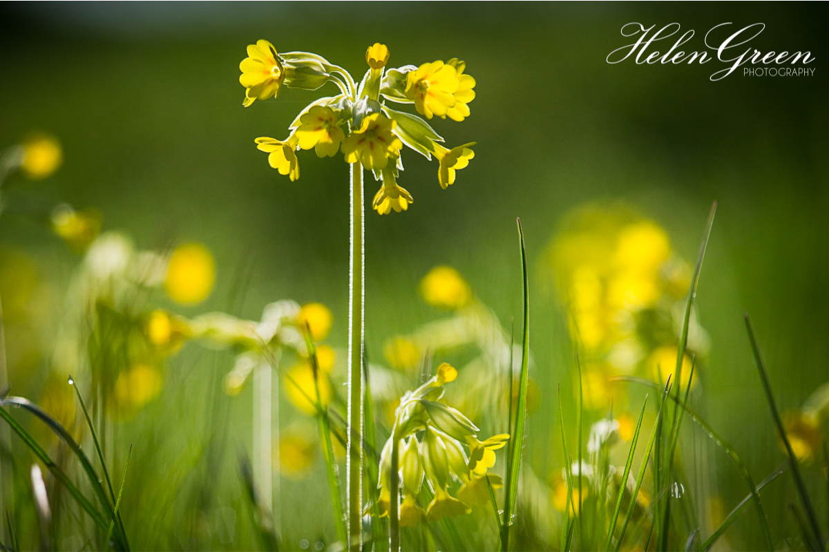 Backlit yellow cowslips