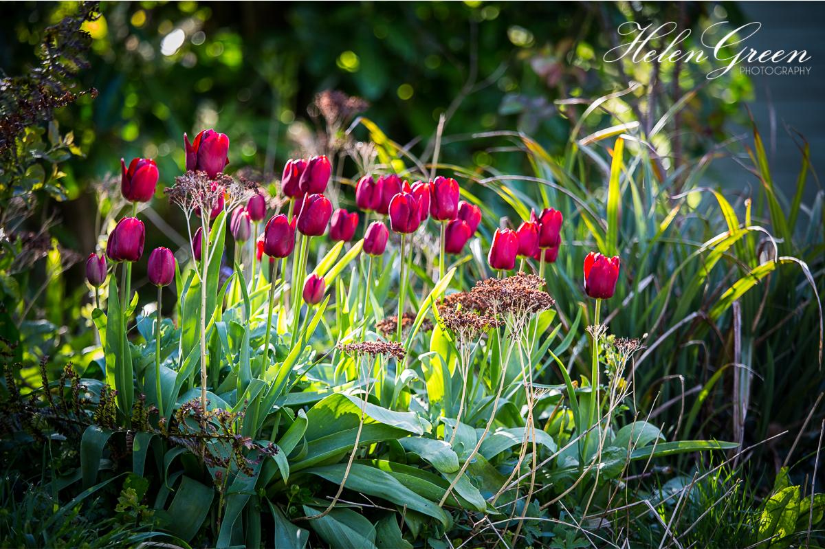Backit purple tulips
